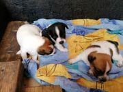 Jack Russel Terrier ab 2