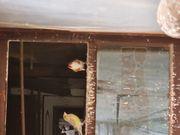 Stieglitz weißkehl weibchen