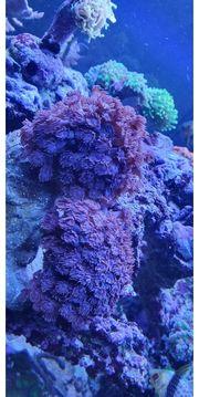 goniopora xxl rot lila meerwasser