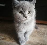 bkh scottish fold kitten