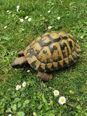 Griechische Landschildkröten testudo hermanni
