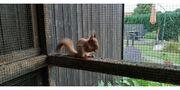 ca 12 Wochen alte Eichhörnchen