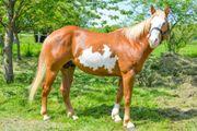 Wunderschöner Paint Horse Wallach