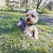 Deckrüde yorkshire terrier