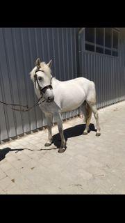 Pony Stute zu verkaufen
