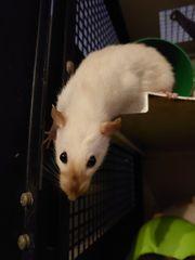 Weibliche Liebhaber Ratten abzugeben