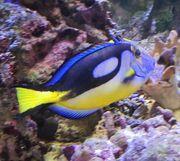 Meerwasser Fische Palettendoktor p hepatus