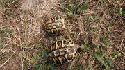 Griechische Landschildkröten THH Sizilien