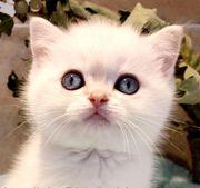 Reinrassige BKH Kitten point silver