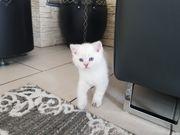 Reinrassige BKH Kitten Abholbereit