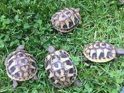 Griechische Landschildkröten NZ2020 THB