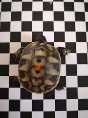 Biete Grichische Landschildkröten