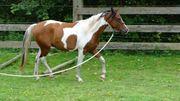 Araber-Pinto Westernpferd
