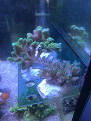 Meerwasser Korallen Ableger Seeigel Tiere