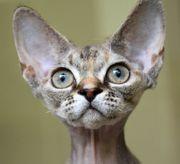 Kitten Devon Rex Mädchen