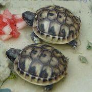 2 Landschildkröten