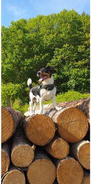 Jack Russell Terrier sucht ein