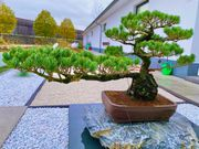 Mädchenkiefer Bonsai ca über 100