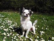 Chihuahua Deckrüde langhaar kein Verkauf