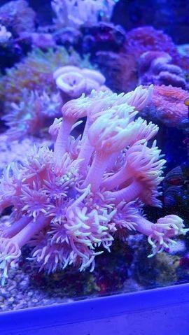 Fische, Aquaristik - Meerwasser korallen und Zubehör