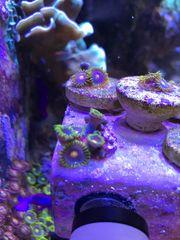 Meerwasser Korallen Zoanthus Eye of
