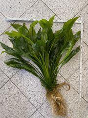 Echinodorus Wasserpflanze