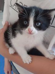 BKH Mix Scottish Fold Kitten