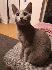 Russischblau Kitten