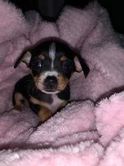 Chihuahua Pinscher Welpen