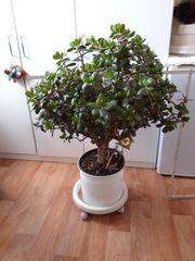 Geld- Pfennigbaum