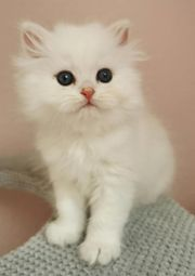BKH BLH Kitten chocolate silver