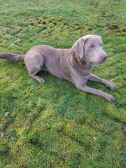 Labrador Rüde Deckrüde - kein Verkauf