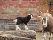 Biete 2 Junge Ziegen