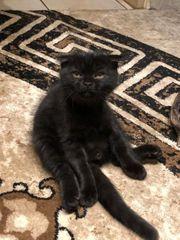 Scottish fold straight Kitten suchen