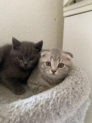 Baby Katzen bkh