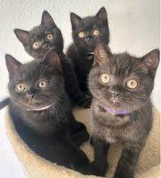 NOCH 2 BKH Kitten frei