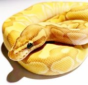 Banana Butter Enchi Yellowbelly Poss