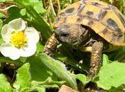 Testudo hermanni boettgeri Griechische Landschildkröte