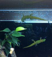 1 1 Zuchtpaar Goldstaubtaggeckos Phelsuma
