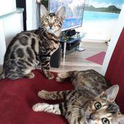 Bengalen Katze