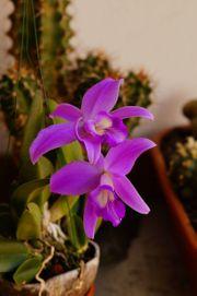 Orchidee Laelia sincorana
