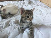 Bengal Siam Mix Kitten in