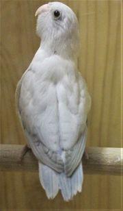 Verkaufe Sperlingspapageien und neues Vogelzubehöt