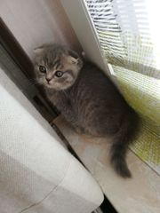 Bkh scotch fold kitten