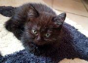 BKH Kitten in Black