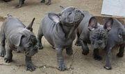 Blaue Reinrassige Französche Bulldoggen Welpen