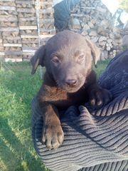 Welpen Hund Rüde Hündin Labrador