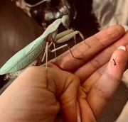 Afrikanische Gottesanbeterin Sphodromantis gastrica