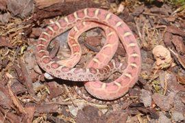1 0 Scaleless het Caramel: Kleinanzeigen aus Ratingen - Rubrik Reptilien, Terraristik