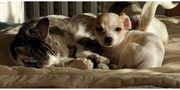 Kurzhaar Chihuahua-jackrussel Mädchen